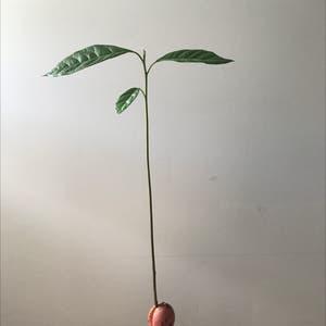 Avocado plant photo by Sabrina5546 named Kesha on Greg, the plant care app.