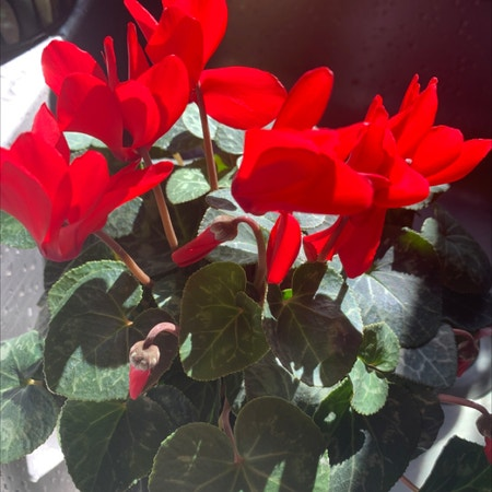 Photo of the plant species Cyclamen Persicum by Capejettymum named Cycked on Greg, the plant care app