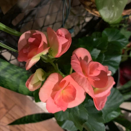 Photo of the plant species Tuberous Begonia by Capejettymum named Pinky on Greg, the plant care app