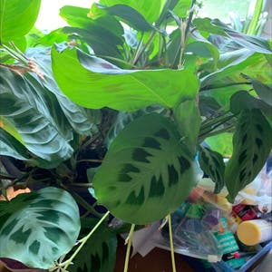 Rating of the plant Green Prayer Plant named Your plant by Jillian on Greg, the plant care app