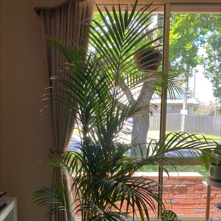 Photo of the plant species golden cane palm by Sophie named Peter Palmerston on Greg, the plant care app