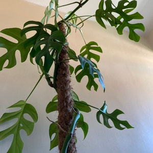 Rating of the plant Mini Monstera named Sarah by Tariqcannings on Greg, the plant care app