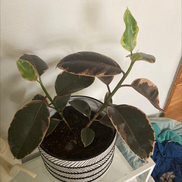Ficus 'Ruby' plant in Denver, Colorado