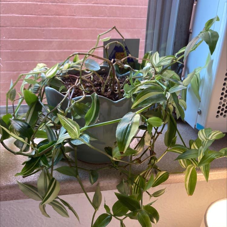 Small-Leaf Spiderwort plant in Denver, Colorado