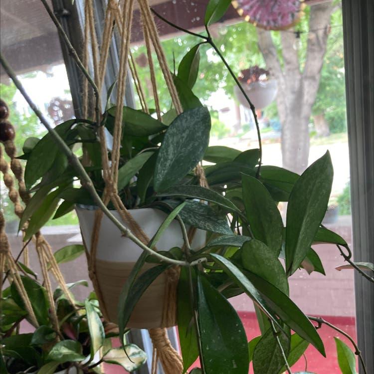 Waxplant plant in Denver, Colorado