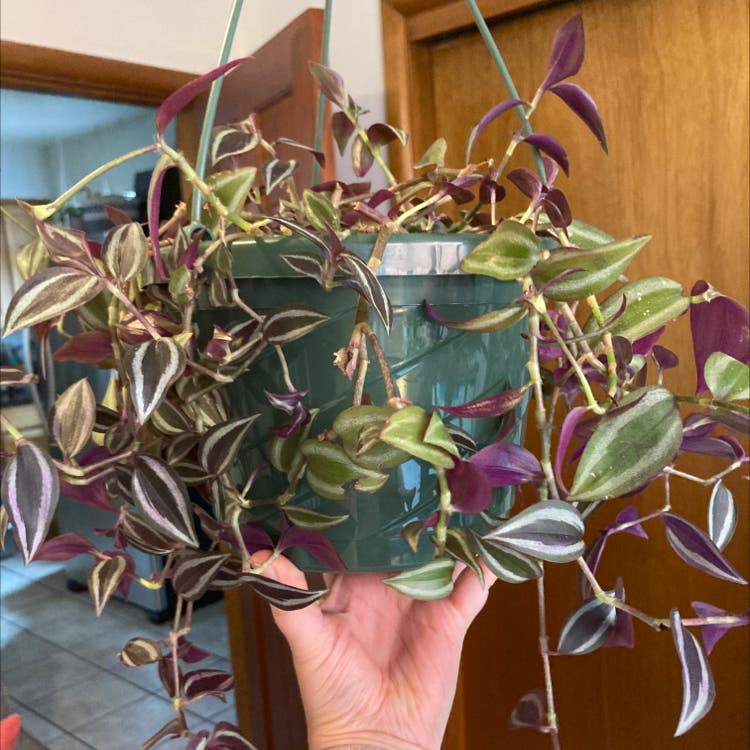 Zebrina plant in Denver, Colorado