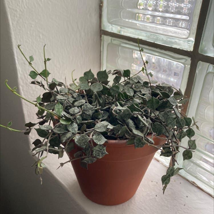 Fung Wax Flower plant in Denver, Colorado