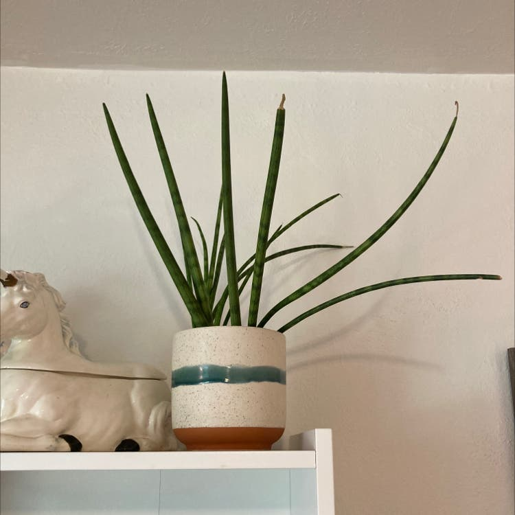 Cylindrical Snake Plant plant in Denver, Colorado