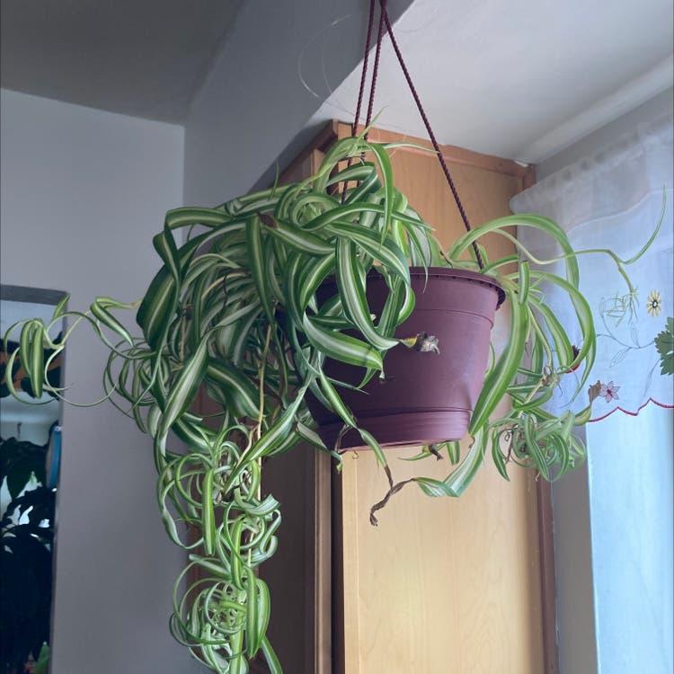 Spider Plant plant in Denver, Colorado