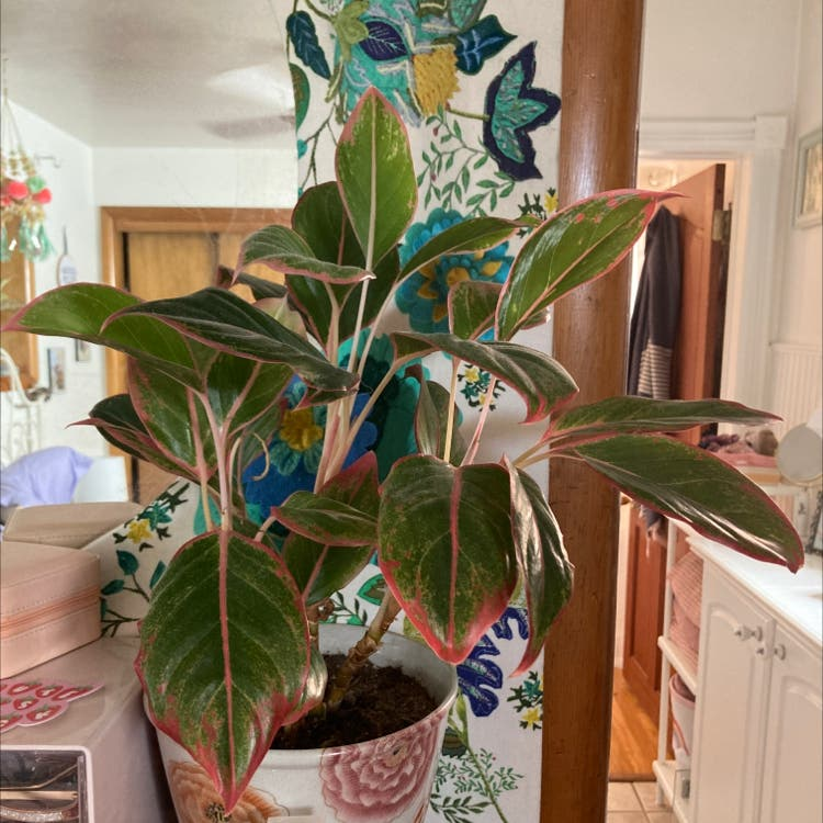 Chinese Evergreen plant in Denver, Colorado