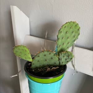 Prickly Pear Cactus plant photo by Apb0168 named Prickly on Greg, the plant care app.