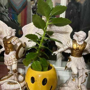 Rating of the plant Florist Kalanchoe named Daphne by Ozymandias on Greg, the plant care app