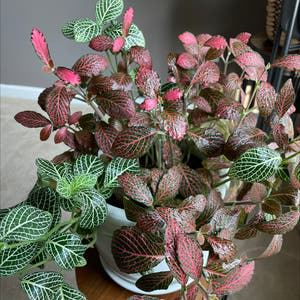 Rating of the plant Nerve Plant named Fittonia by Rod on Greg, the plant care app
