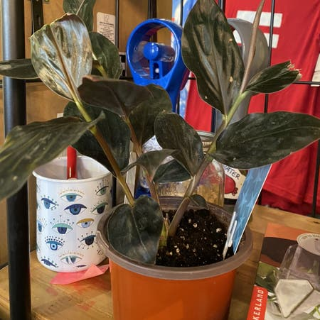 Photo of the plant species Midnight Black by Meowgs named Gojo on Greg, the plant care app