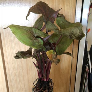 Syngonium 'Berry' plant photo by Clara named Zeba on Greg, the plant care app.
