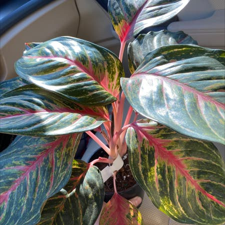 Photo of the plant species Chinese Evergreen by Mooreplantspls2405 named Scarlett on Greg, the plant care app