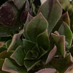 Aeonuim leucoberpharum plant