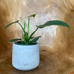 Blushing Philodendron plant