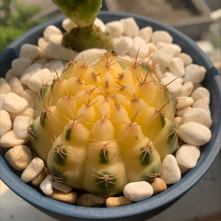 Photo of the plant species Spider Cactus by Cx named Sunny on Greg, the plant care app