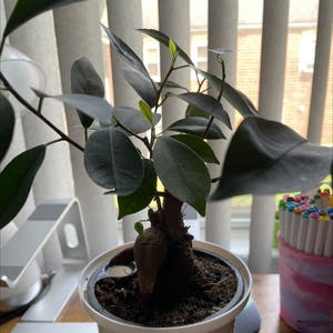 Ficus Ginseng plant photo by Rio named Bonny on Greg, the plant care app.