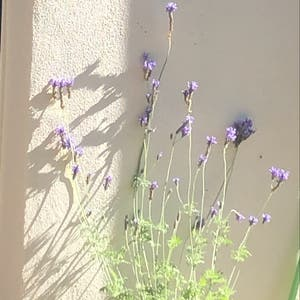 English Lavender plant photo by Skye named Lavender 💜 on Greg, the plant care app.