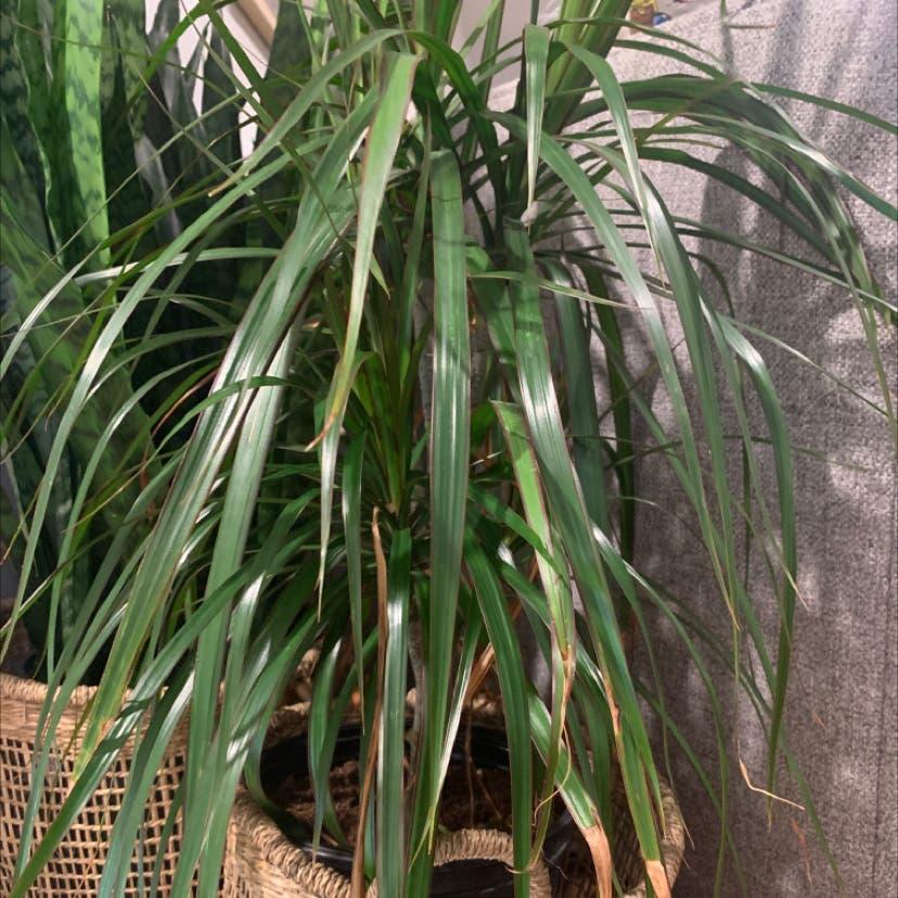 Dragon tree plant