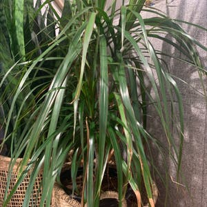 Dragon tree plant photo by Soccer21 named Yucca?! on Greg, the plant care app.