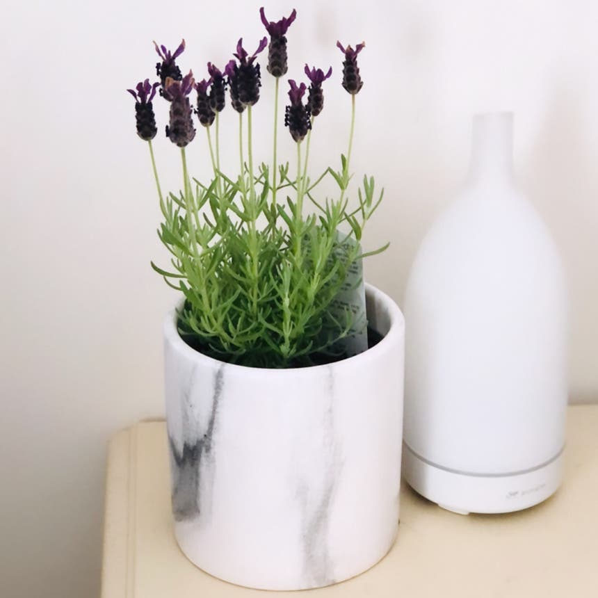 Lavender plant in Richmond, British Columbia