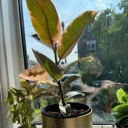 Photo of the plant species Rubber Plant 'Belize' by Rubywhatashmoo named Belize on Greg, the plant care app