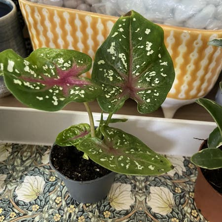Photo of the plant species Caladium 'Casey' by Rubywhatashmoo named Keanu Leaves on Greg, the plant care app