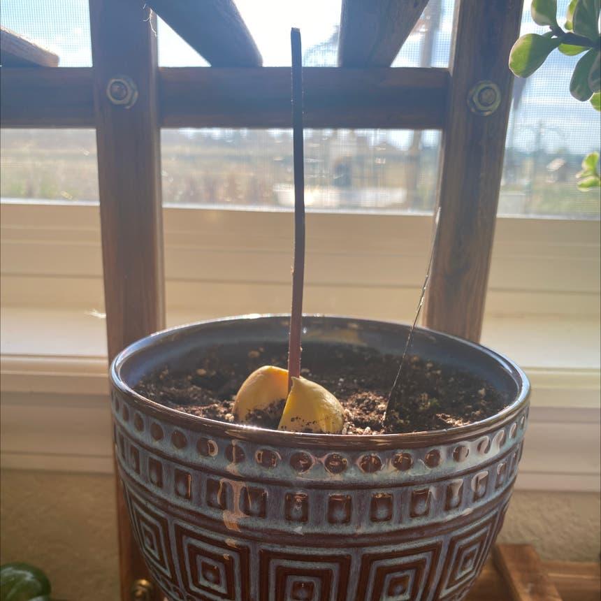 Avocado plant in Greeley, Colorado