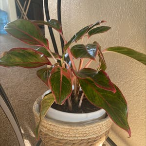 Chinese Evergreen plant photo by Jeannieh named Ching on Greg, the plant care app.