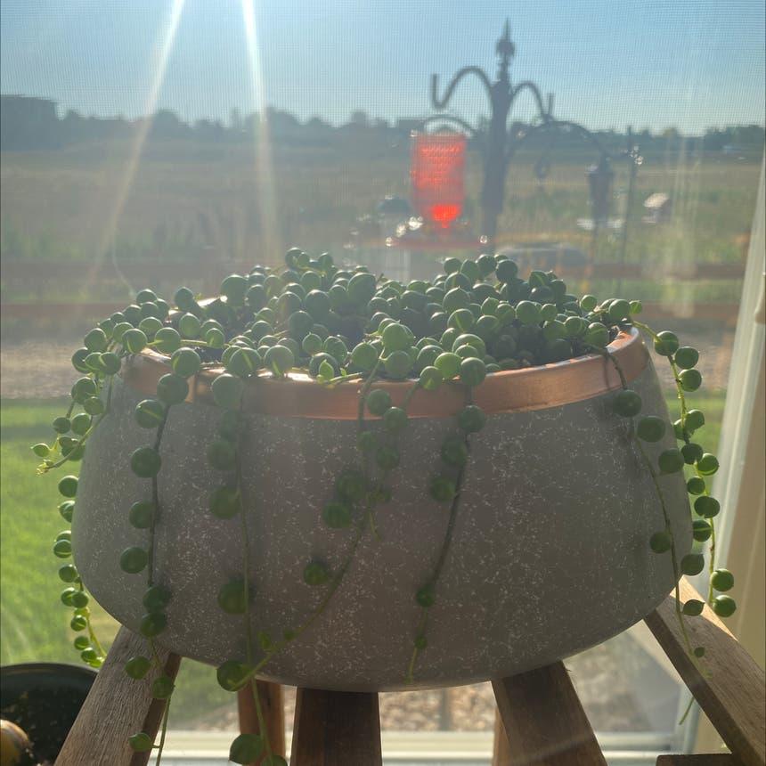 String of Pearls plant in Greeley, Colorado