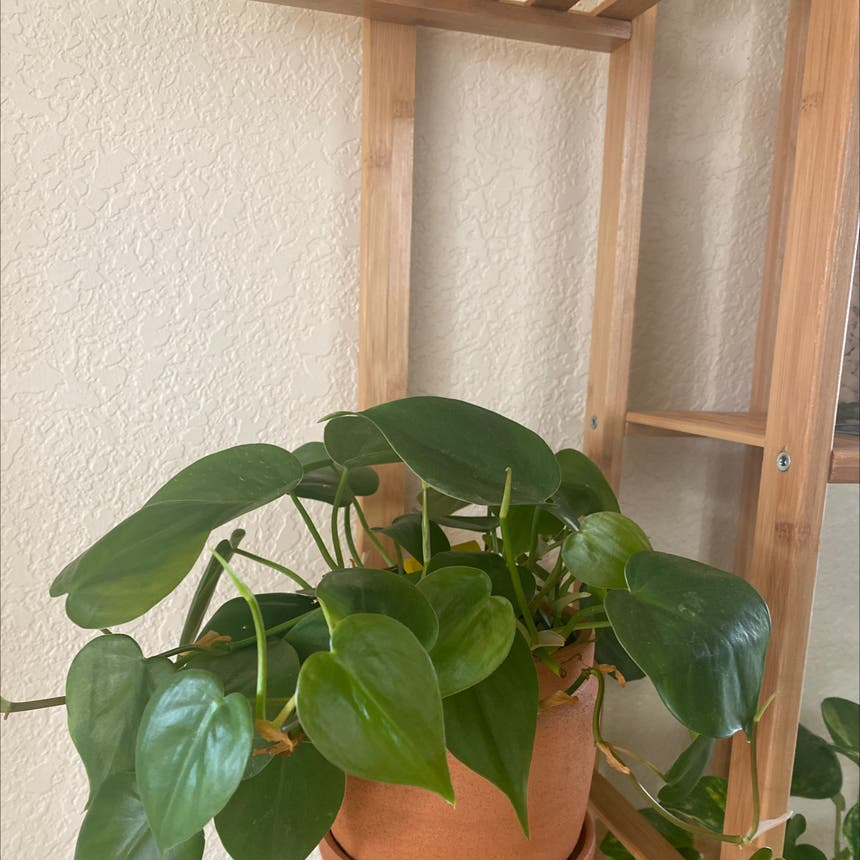 Heartleaf philodendron plant in Greeley, Colorado