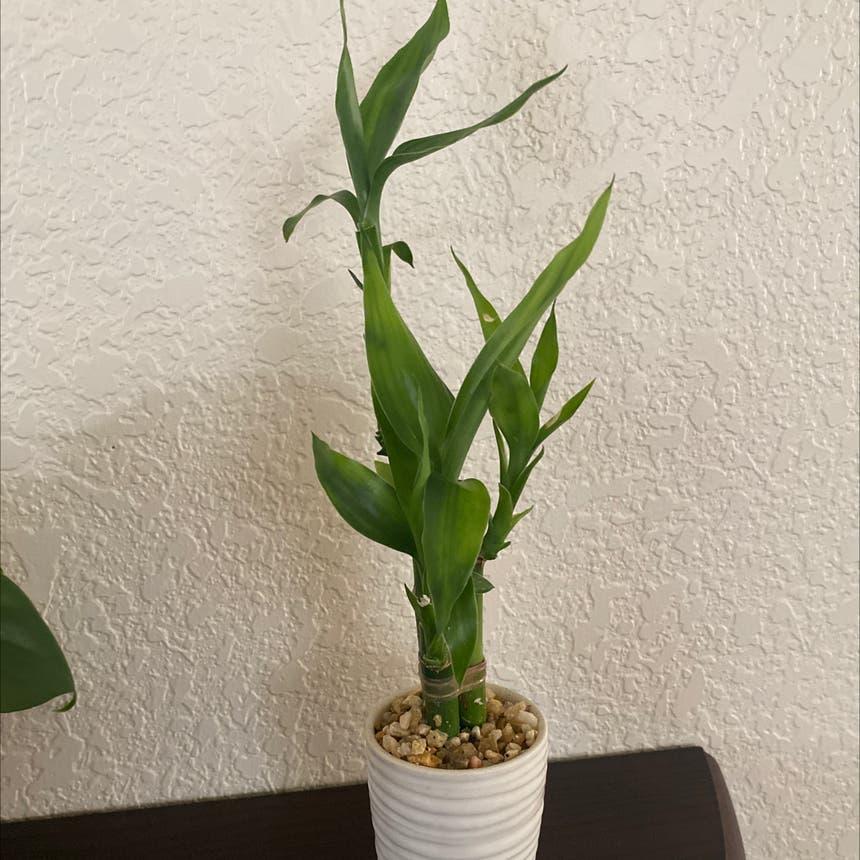 ribbon plant plant in Greeley, Colorado