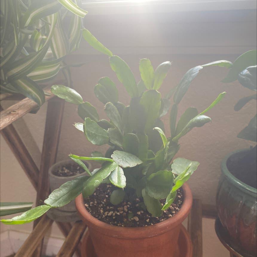 Easter Cactus plant in Greeley, Colorado