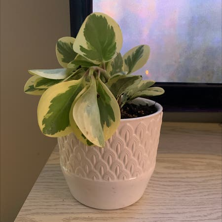 Photo of the plant species peperomia golden gate by Shelbyb named Remington on Greg, the plant care app