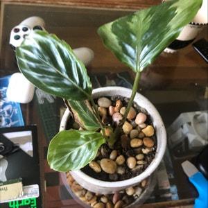 Calathea 'Medallion' plant photo by Alondra named Cala on Greg, the plant care app.