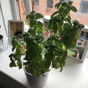 Sweet Basil plant photo by Kirbyfanacc named drama queen on Greg, the plant care app.