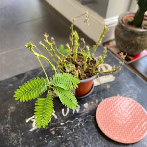 Sensitive Plant plant photo by Jmplantlover named Sproutacus on Greg, the plant care app.