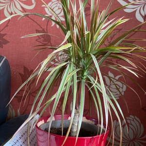 Dragon tree plant photo by Jmplantlover named Barbara on Greg, the plant care app.