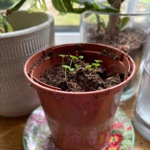 Sweet Basil plant photo by Hattieholmes named Bailey on Greg, the plant care app.