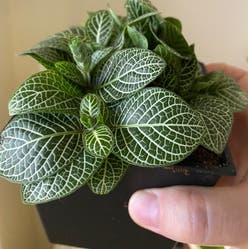 Nerve Plant plant