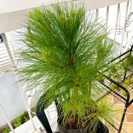 Photo of the plant species Benguet Pine by Halamanhalaman named Benguet Pine on Greg, the plant care app