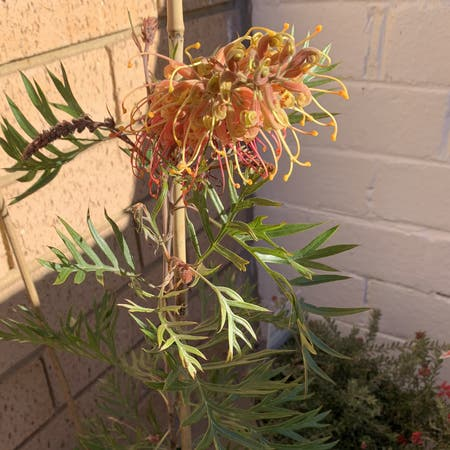 Photo of the plant species Grevillea sp. by Nikki named Khaleesi on Greg, the plant care app
