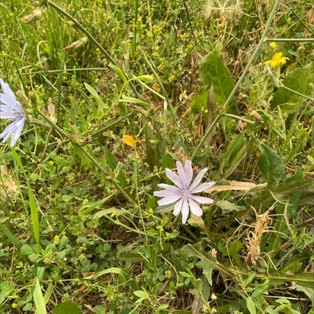 Photo of the plant species Cichorium Intybus by Christina named Your plant on Greg, the plant care app