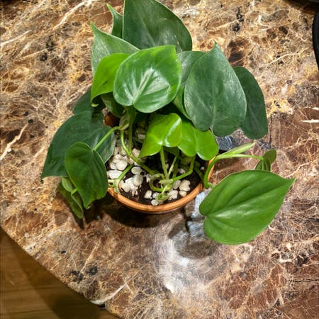 Photo of the plant species Philodendron Brazil by Itsarkeedah named Green on Greg, the plant care app