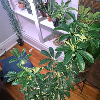 Dwarf Umbrella Tree plant in Buffalo, New York