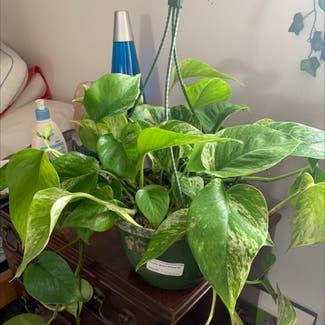 Marble Queen Pothos plant in Buffalo, New York