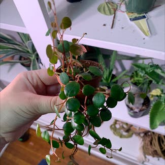 Vining Peperomia plant in Buffalo, New York